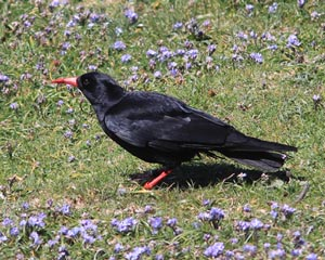 Anglesey%20%2822%29%20Red-billed%20Chough_s.JPG