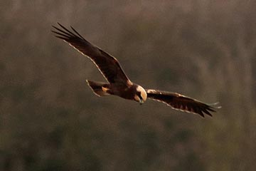 Far%20Ings%20%2808%29%20Marsh%20Harrier_s.JPG