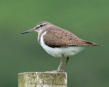 Common%20Sandpiper_2.JPG