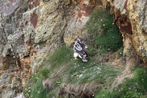 02%20Anglesey%20%28000%29%20Peregrine%20chick_w.JPG