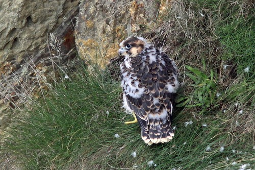03%20Anglesey%20%28001%29%20Peregrine%20chick_w.JPG
