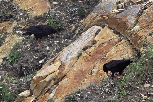 10%20Anglesey%20%28021%29%20Chough%20pair_w.JPG