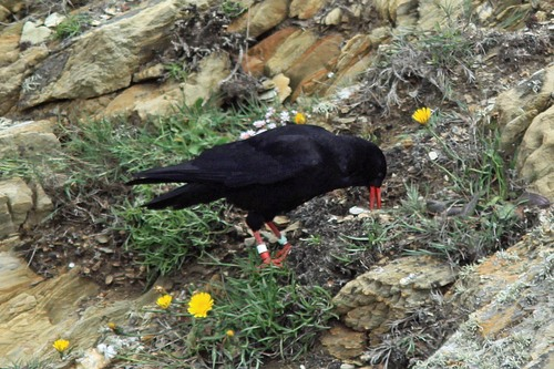 11%20Anglesey%20%28011%29%20Chough_w.JPG