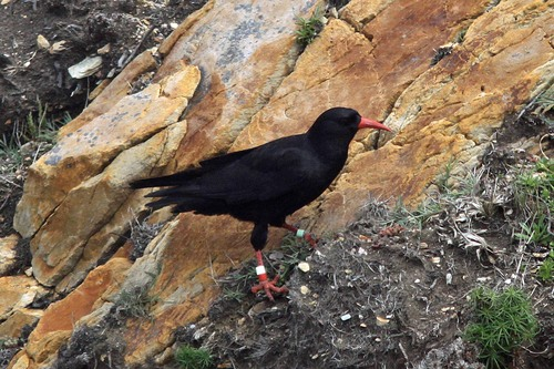 12%20Anglesey%20%28019%29%20Chough_w.JPG