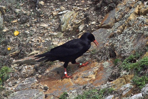 13%20Anglesey%20%28025%29%20Chough_w.JPG