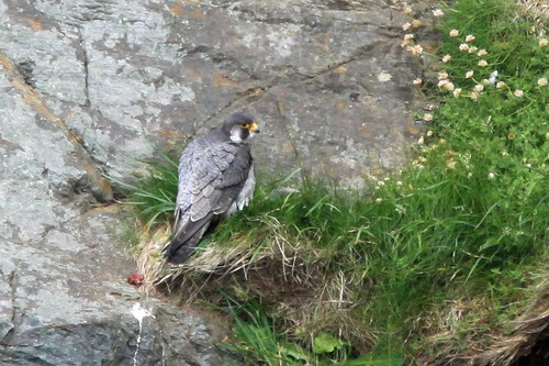 19%20Anglesey%20%28009%29%20Peregrine_w.JPG
