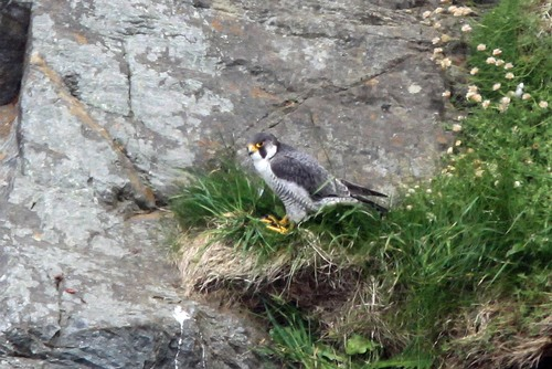 20%20Anglesey%20%28034%29%20Peregrine_w.JPG