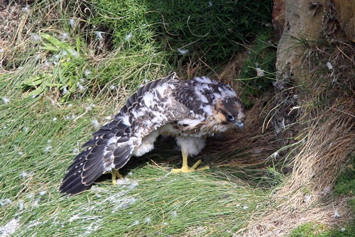 23%20Anglesey%20%28039%29%20Peregrine%20chick_w.JPG
