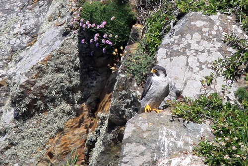 25%20Anglesey%20%28046%29%20Peregrine_w.JPG