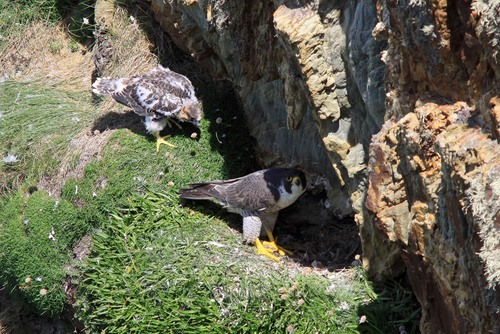 28%20Anglesey%20%28059%29%20Peregrine%20and%20chick_w.JPG