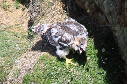 30%20Anglesey%20%28062b%29%20Peregrine%20chick%20begging_w.JPG