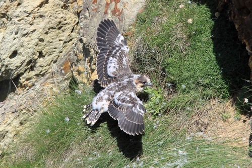 33%20Anglesey%20%28068%29%20Peregrine%20chick_w.JPG