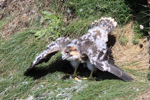 35%20Anglesey%20%28079%29%20Peregrine%20chick_w.JPG