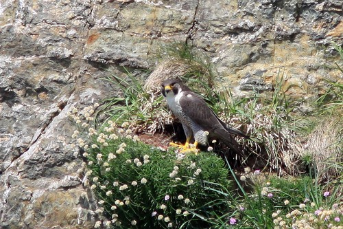 36%20Anglesey%20%28080%29%20Peregrine_w.JPG