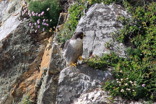 37%20Anglesey%20%28111%29%20Peregrine_w.JPG