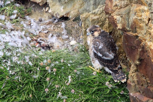 38%20Anglesey%20%28256%29%20Peregrine%20chick_w.JPG