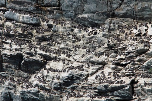 53%20Anglesey%20%28245%29%20Guillemot%20colony_w.JPG