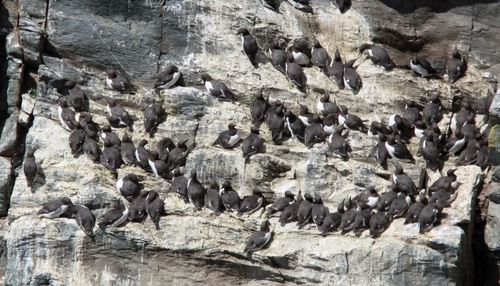 54%20Anglesey%20%28248%29%20Guillemots_w.JPG