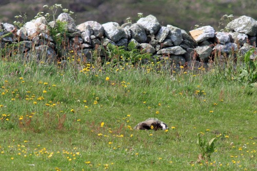 62%20Anglesey%20%28105%29%20Badger_w.JPG