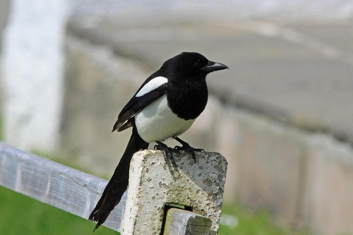 64%20Anglesey%20%28233%29%20Magpie_w.JPG