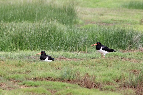 71%20Anglesey%20%28137%29%20Oystercatchers_w.JPG