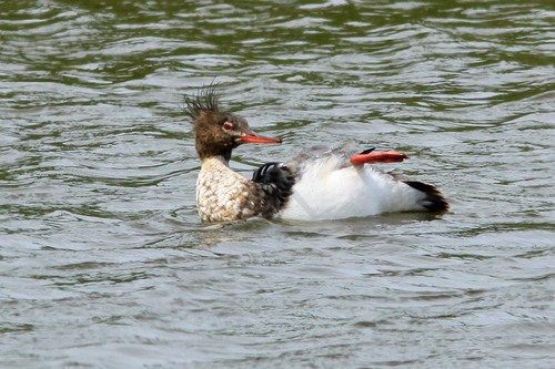 75%20Anglesey%20%28158%29%20Red-breasted%20merganser_w.JPG