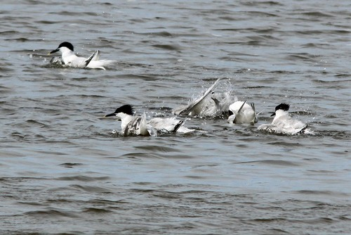 80%20Anglesey%20%28163%29%20Sandwich%20Terns%20bathing_w.JPG