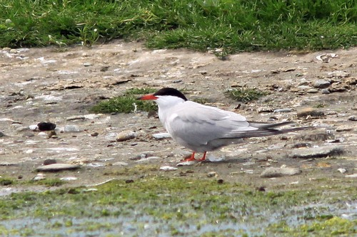 84%20Anglesey%20%28184%29%20Common%20Tern_w.JPG