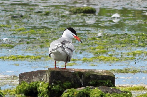 85%20Anglesey%20%28173%29%20Common%20Tern_w.JPG