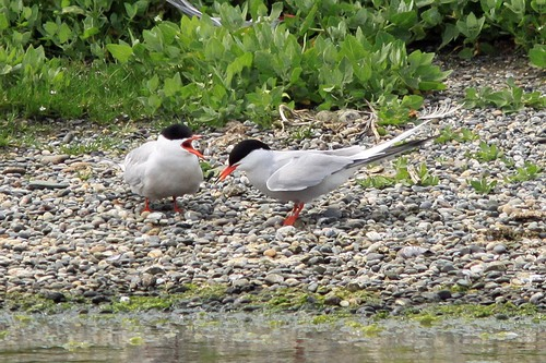 87%20Anglesey%20%28200%29%20Common%20Terns_w.JPG