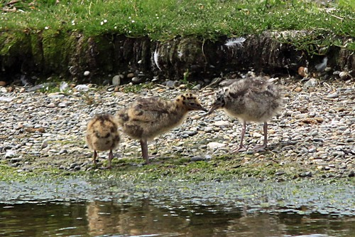 90%20Anglesey%20%28215%29%20Black-headed%20Gull%20chicks_w.JPG