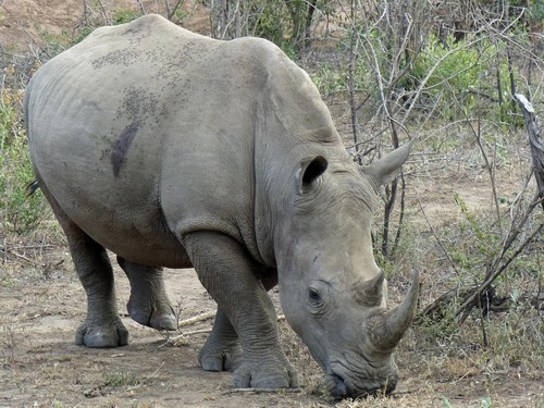 P1010156%20White%20rhinos%20close%20to%20our%20vehicle%20in%20Umfolozi_w.JPG