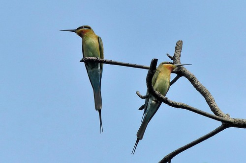 P1010543%20Blue-tailed%20Bee-eater%20-%20Beira%20lake%20by%20our%20Colombo%20Hotel_w.JPG