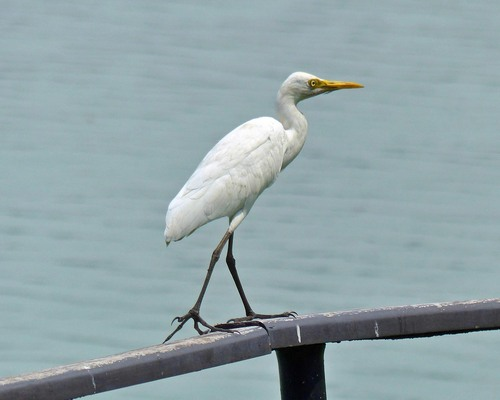 P1010612%20Intermediate%20%28aka%20Yellow-billed%29%20Egret%20-%20Beira%20lake%20by%20our%20Colombo%20Hotel_w.JPG