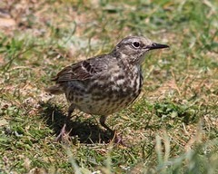 Anglesey%20%2813%29%20Rock%20Pipit_s.JPG