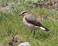 Anglesey%20%2831%29%20Northern%20Wheatear_s.JPG