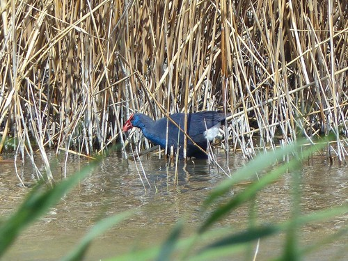 P1040676%20Purple%20Swamphen%20at%20El%20Hondo_w.JPG