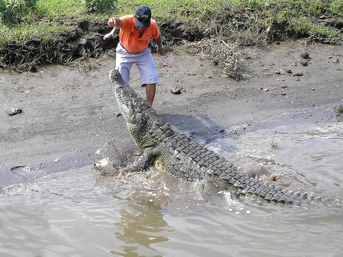 219%20American%20Croc-%20Tarcoles%20river%20cruise%20Costa%20Rica-April%2013_w.JPG