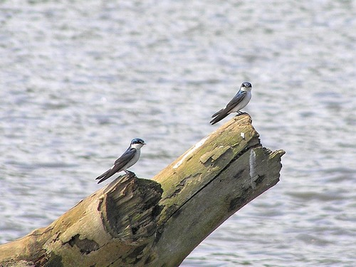 228%20Mangrove%20swallows%20-%20%20Tarcoles%20river%20cruise%20Costa%20Rica-April%2013_w.JPG