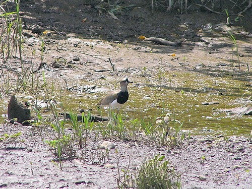 239%20Southern%20Lapwing%20-Tarcoles%20river%20cruise%20Costa%20Rica-April%2013_w.JPG