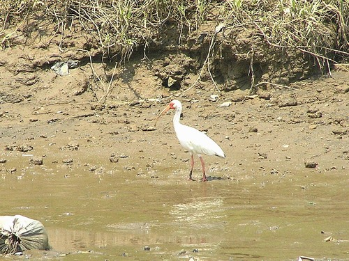 249%20White%20Ibis%20-Tarcoles%20river%20cruise%20Costa%20Rica-April%2013_w.JPG