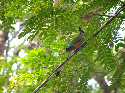 261%20Turquoise-browed%20Motmot%20-%20Tarcoles%20river%20cruise%20Costa%20Rica-April%2013_w.JPG