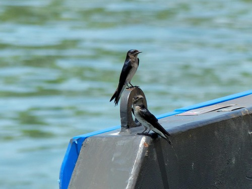 P1030120%20Pair%20of%20Grey-breasted%20Martins-%20on%20the%20jetty%20by%20the%20ship%20Puerto%20Limon%20Costa%20Rica_w.JPG