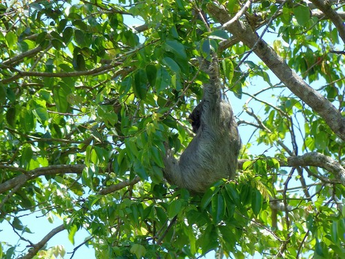 P1030127%20Sloth%20snoozing%20in%20a%20tree-Tortuguero%20Canal%20Costa%20Rica_w.JPG