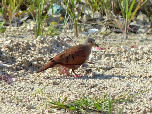 P1030011%20male%20%20Ruddy%20Ground-Dove%20-%20Cozumel%20with%20Arturo_w.JPG