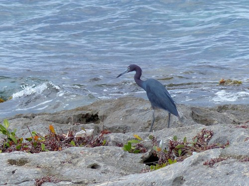 P1030027%20adult%20Little%20Blue%20Heron-%20Cozumel%20with%20Arturo_w.JPG