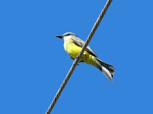 P1030067%20Tropical%20Kingbirds-Mahahual%20Yucatan%20pen.%20with%20Victor%20%26%20%20Lucas_w.JPG