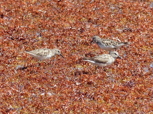 P1030101%20Least%20Sandpipers%20foraging%20on%20sea%20shore-%20Mahahual%20Yucatan%20pen.%20with%20Victor%20%26%20%20Daniel_w.JPG