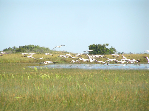 035%20Flock%20of%20American%20white%20pelicans%20in%20flight%20in%20the%20Everglades-April%2013.jpg