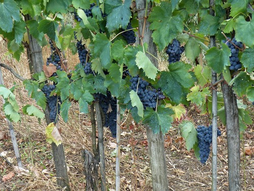 P1020195%20Grapes%20at%20Cozzile%20hilltop%20town_w.JPG